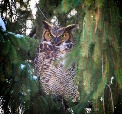 Mass-Audubon-owl