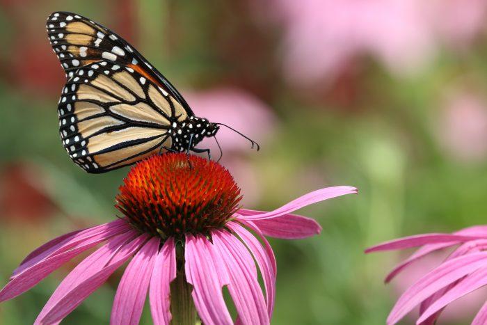 Mass-Audubon-butterfly-flower